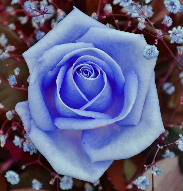 Blå rosor